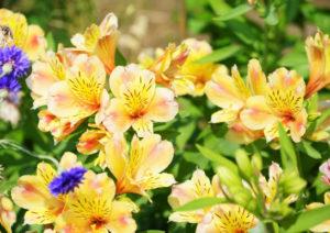 アルストロメリアの花の画像